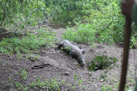 komodo dragon, Rinca