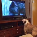 Scare the Bear! English Bulldog tries to save Leonardo DiCaprio from grizzly attack (watching The Revenant).