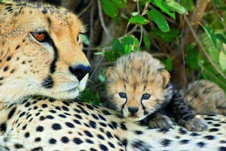 CheetahAcinonyx jubatusMother and 17 day old cubMaasai Mara Reserve, Kenya